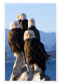 Poster Premium  Bald Eagle on the shore of Kachemak Bay - Don Pitcher
