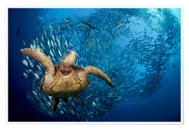 Poster Premium  Green sea turtle before Bali - Dave Fleetham