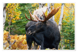 Poster Premium Moose in the Gaspesie National Park