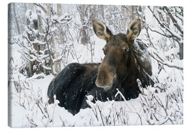 Stampa su tela  Cow elk in a winter forest - Philippe Henry