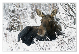 Poster Premium  Cow elk in a winter forest - Philippe Henry