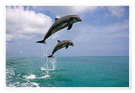 Poster Premium  Pair Of Bottle Nose Dolphins Jumping Roatan Honduras Summer - Tom Soucek