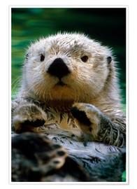 Poster Premium  Percussion Otter - Harry M. Walker