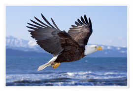 Poster Premium  Flying Bald Eagle - Don Pitcher