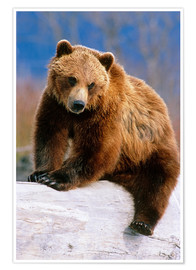 Poster Premium Brown Bear on a trunk