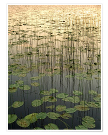 Poster Premium Water lilies on the Deadman Lake
