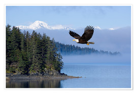 Poster Premium Bald Eagle in flight