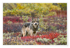 Poster  Gray Wolf in the tundra - Gary Schultz