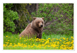 Poster Premium A brown bear on a dandelion meadow