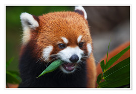 Dave Fleetham - Red Panda