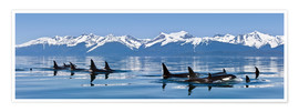 Poster Premium  A group of Orcas - John Hyde