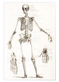 Poster  The Human Skeleton - Ken Welsh
