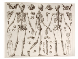 Stampa su vetro acrilico  Skeleton Of A Fully Grown Human - Wunderkammer Collection