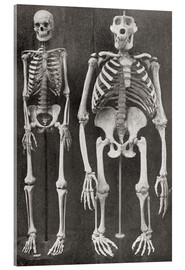 Stampa su vetro acrilico  Skeletons Of Man and Gorilla - Ken Welsh