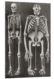 Stampa su schiuma dura  Skeletons Of Man and Gorilla - Ken Welsh