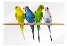 Vetro acrilico  Budgies on a perch - Corey Hochachka