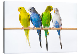 Stampa su tela  Budgies on a perch - Corey Hochachka