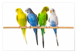 Poster Premium  Budgies on a perch - Corey Hochachka