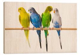 Stampa su legno  Budgies on a perch - Corey Hochachka