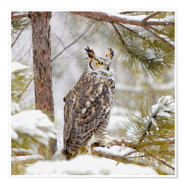 Poster Premium  Long Eared Owl - John Pitcher