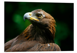 Deddeda - Golden Eagle's Face (Aquila Chrysaetos)