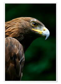 Poster Premium  Golden Eagle's Face (Aquila Chrysaetos) - Deddeda