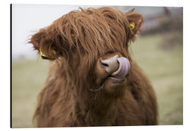 Alluminio Dibond  Highland Cattle Licking It's Lips - John Short