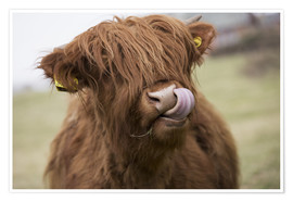 Poster Premium  Highland Cattle Licking It's Lips - John Short
