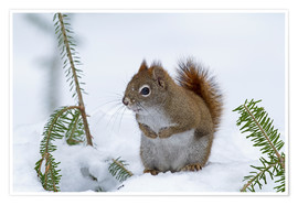 Poster Premium  Red squirrel (Tamiasciurus hudsonicus) sitting on snow - Philippe Henry