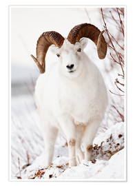 Poster  Full Curl Dall Sheep - Doug Lindstrand