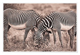 Poster Premium  Two Zebras Grazing Together - David DuChemin