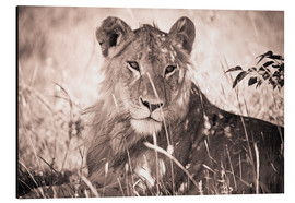 Alluminio Dibond  Lioness between grasses - David DuChemin