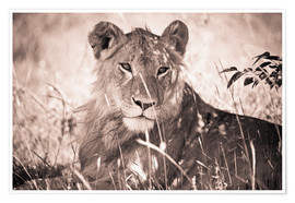 Poster  Lioness between grasses - David DuChemin