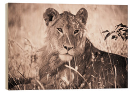 Stampa su legno  Lioness between grasses - David DuChemin