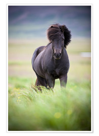 Poster Premium black horse on the meadow