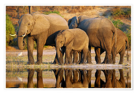 Poster Premium Elephants at a river, Africa wildlife