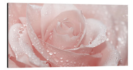 Stampa su alluminio  Rose with drops - Atteloi