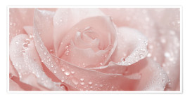 Poster  Rose with drops - Atteloi