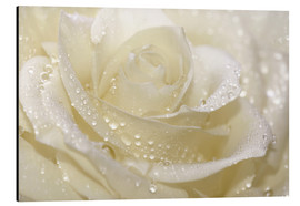 Alluminio Dibond  White rose with drops - Atteloi