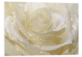 Forex  White rose with drops - Atteloi