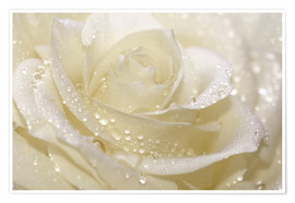 Poster  White rose with drops - Atteloi