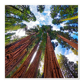 Poster Premium  giant Sequoia - Michael Rucker