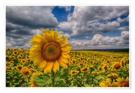 Poster  King of Sunflowers - Achim Thomae
