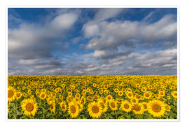 Poster Premium  Sea of Sunflowers - Achim Thomae