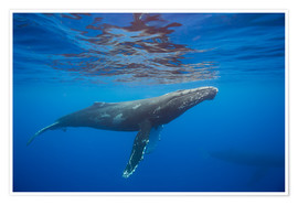 Poster Premium  Humpback whale (Megaptera novaeangliae) underwater - Dave Fleetham