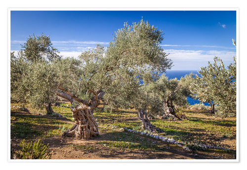 Poster Premium Ancient olive trees in Mallorca (Spain)