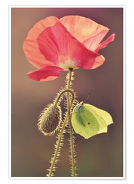 Poster Premium Poppy and butterfly