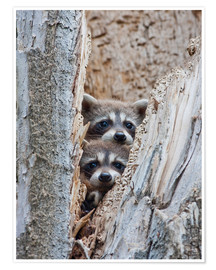 Poster  Raccoon in tree - Elizabeth Boehm