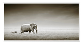 Poster  Elephant walking past zebra size comparison - Johan Swanepoel