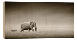 Legno  Elephant walking past zebra size comparison - Johan Swanepoel